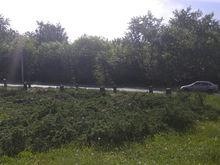 На скандальном перекрёстке в Челябинске высадят тополя. Аллергии не миновать?