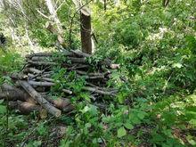 В парке «Плодушка» пустят под топор американские клёны