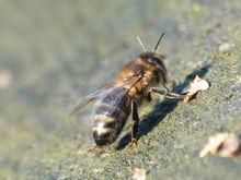 В России массово вымирают пчелы. Ущерб оценили в 1 млрд рублей