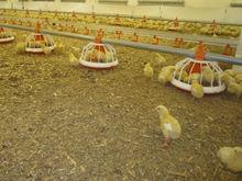 Власти Свердловской области объединяют две уральские птицефабрики