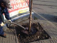 Таинственное исчезновение деревьев на Кировке раскрылось