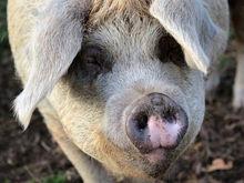 Сибирская аграрная группа купила «Кудряшовский мясокомбинат»