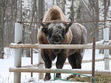 Зубр переехал из бывшего зоопарка «Мишутка» в национальный парк «Мещера»