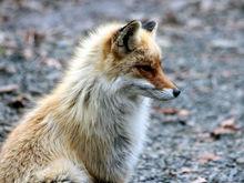 Четыре лисицы и шесть птиц из бывшего зоопарка «Мишутка» переехали