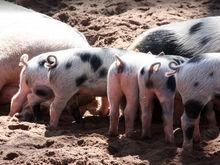 Пробел в законе? На Южном Урале мясокомбинат обвинили в незаконном использовании навоза