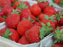 «Будут снимать по 500 кг урожая в месяц». На Урале запустили ферму по выращиванию клубники