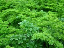 «Лента» начала выращивать зелень в Новосибирске