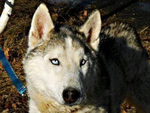 «Несём большие убытки». Хаски-центр под Челябинском объявил раздачу части собак