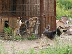 Отлов одной бездомной собаки в Красноярске обходится бюджету в 8 000 рублей