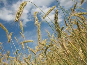 Красноярский край начал поставлять зерновые в Чехию