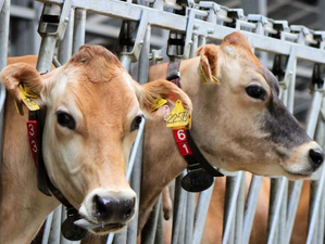 На юге Красноярского края построят два молочных предприятия