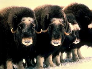 На Таймыре начнут разводить овцебыков