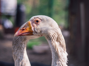 Власти изымают у южноуральцев домашних птиц из-за распространения гриппа