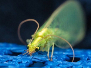Рой: красноярские энтомологи поделились мнениями о причинах нашествия насекомых
