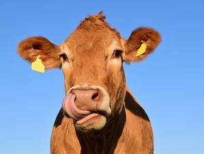 Для Новосибирска разработают стратегию развития мясного скотоводства