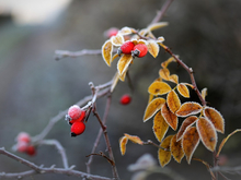 Первые заморозки придут на неделе в Новосибирскую область