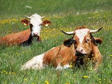 «Школа фермера» поможет создать в Новосибирской области кооперативы мясного животноводства