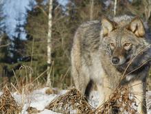 Идет охота на волков: в Туве сформировано 114 бригад