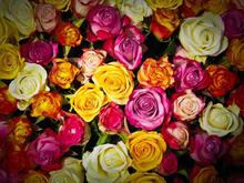 Семь миллионов роз в год пообещало выращивать новосибирское предприятие