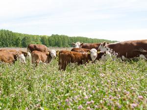 Выращивают герефордов и органик-фуд. Старейшую экоферму на Урале выставили на продажу
