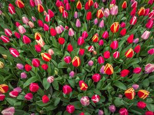 В Красноярске легализовали продажу  тюльпанов к 8 марта