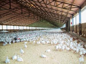 В России возник дефицит мяса птицы и яиц: их производство резко сократилось