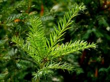 «Полюс» компенсирует добычу золота высадкой елок