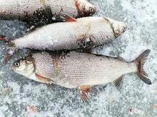 Рыбное место: подробности независимой экспертизы ихтиофауны озера Пясино