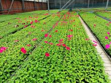 Клумбы Красноярска украсят 1 млн цветов
