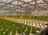В теплицах Хакасии вырос урожай «умных» огурцов