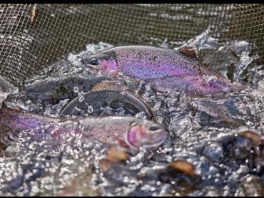 Конфликт рыбхоза и форелевой фермы исчерпан: рыбу везут домой