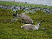 Первый домашний олененок родился в Авамской тундре
