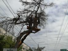 Губернатор и мэрия высказались об уничтожении даурских лиственниц в центре Челябинска