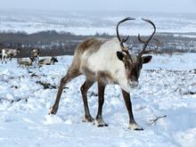 Северных оленей пометят передатчиками, чтобы защитить от потепления