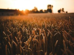 «Ситуация очень сложная». Нижегородская область может потерять до 30% урожая зерновых