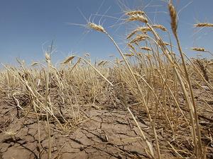 Гидрометцентр: засуха в Челябинской области грозит очередным неурожаем