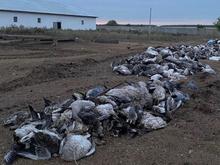 В Челябинской области введен карантин из-за вспышки птичьего гриппа