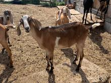 «Большая часть стада обречена», — заводчик элитных коз не справляется с ростом цен на корм