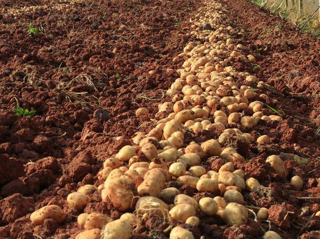 Картофеля вдвое меньше, свеклы — втрое. Свердловские фермеры подсчитывают урожай