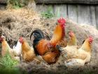 Верховный суд РФ: Держать скот и домашнюю птицу на садовых участках нельзя. Но можно пчел
